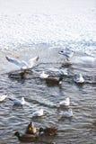 Zwanen en Eenden in de Langelinie-Vijver in de winter Kopenhagen Stock Foto