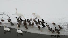 Zwanen en eenden op het bevroren meer stock videobeelden