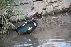 Zwanen en eenden van verschillende verscheidenheid in het meer Royalty-vrije Stock Foto