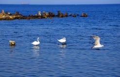 Zwanen en zeemeeuw in de Zwarte Zee stock afbeelding