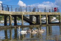 Zwanen en zegels naast de pijler Saltash Cornwall Engeland het UK stock afbeeldingen