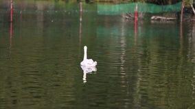 Zwanen in het meer Witte zwaan in het mistige meer bij de dageraad Ochtendlichten romantische achtergrond Mooie zwaan cygnus stock videobeelden