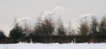 3 zwanen het vliegen Stock Foto