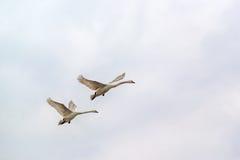 Zwanen het vliegen Royalty-vrije Stock Foto's
