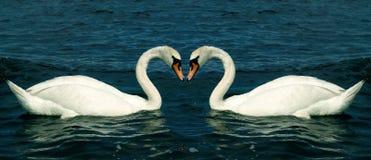 Zwanen in liefde Stock Afbeelding