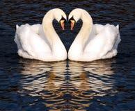 Zwanen in liefde Royalty-vrije Stock Foto