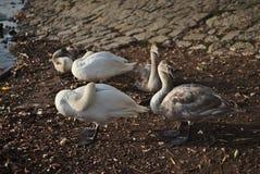 Zwanen met kereltjes op de rivier royalty-vrije stock foto