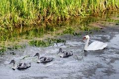 Zwanen met nestvogels Royalty-vrije Stock Foto's