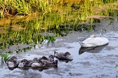 Zwanen met nestvogels op de vijver Stock Foto's