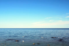 Zwanen in Oostzee Stock Afbeelding