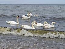 Zwanen op de Baltische kust stock afbeelding
