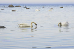 Zwanen op de kust Stock Foto