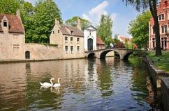 Zwanen op de rivier in Brugge Stock Foto