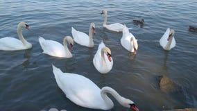 Zwanen op de rivier Donau stock afbeeldingen