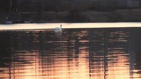 Zwanen op een rode zonsondergang op een meer in de lente stock footage