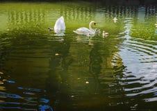 Zwanen op groen water Stock Afbeelding