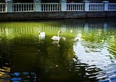 Zwanen op groen water Royalty-vrije Stock Foto