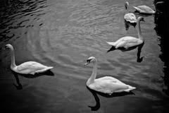 Zwanen op het Kanaal van Brugge Stock Foto