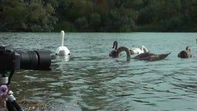 Zwanen op het meer stock footage