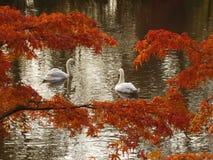 Zwanen op het meer Stock Foto