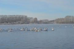 Zwanen op het meer stock fotografie