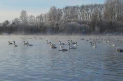 Zwanen op het meer stock afbeelding