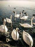 Zwanen op het meer Royalty-vrije Stock Afbeeldingen