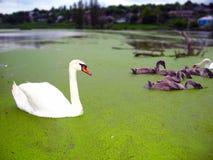 Zwanen op het meer stock afbeeldingen