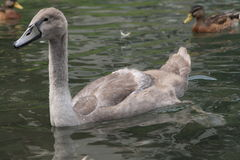 Zwanen op het meer, jaar 2008 Stock Afbeeldingen