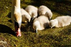 Zwanen op het meer Zwanen met nestvogels stock foto