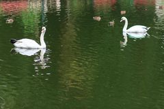 Zwanen op het meer Zwanen met nestvogels Zwaan met kuikens De stodde familie van de Zwaan Royalty-vrije Stock Afbeelding