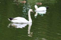 Zwanen op het meer Zwanen met nestvogels Zwaan met kuikens De stodde familie van de Zwaan Stock Afbeeldingen