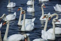 Zwanen op het meer stock foto's