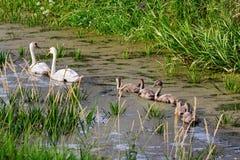 Zwanen op het meer Zwanen met nestvogels Stock Afbeelding