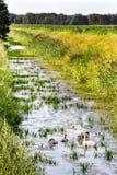 Zwanen op het meer Zwanen met nestvogels Royalty-vrije Stock Afbeeldingen