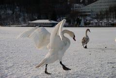 Zwanen op het strand in sneeuw wordt behandeld die Stock Foto