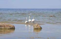 Zwanen op het zandeiland dichtbij de kustlijn van de Oostzee Stock Foto's