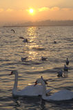 Zwanen op meer in zonsondergang stock afbeelding
