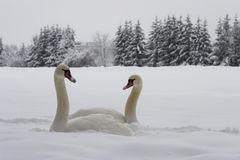 Zwanen op sneeuw Stock Fotografie