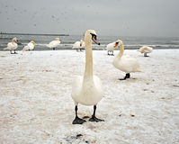 Zwanen op strand Royalty-vrije Stock Afbeeldingen