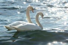 Zwanen op water, valentijnskaartconcept Royalty-vrije Stock Afbeeldingen