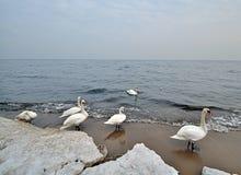 Zwanen op zeekust Stock Afbeeldingen