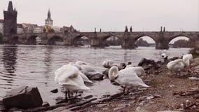 Zwanen in Praag stock video
