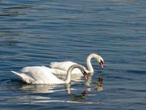 Zwanen in Sava-rivier royalty-vrije stock fotografie