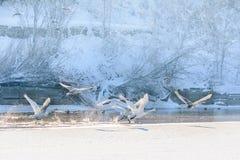 Zwanen tijdens de vlucht over bevroren water De winterlandschap met zwanen F Royalty-vrije Stock Afbeelding