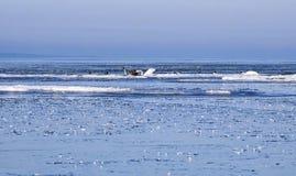 Zwanen tussen ijsijsschollen Stock Foto's