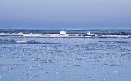 Zwanen tussen ijsijsschollen Stock Afbeelding
