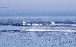 Zwanen tussen ijsijsschollen Stock Fotografie