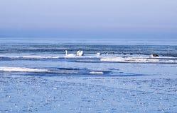 Zwanen tussen ijsijsschollen Royalty-vrije Stock Fotografie