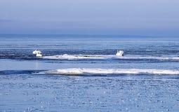 Zwanen tussen ijsijsschollen in de winter Stock Afbeeldingen